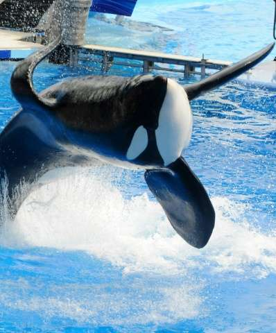 """Tilikum"" appears during a performance at Sea World on March 30, 2011 in Orlando, Florida"