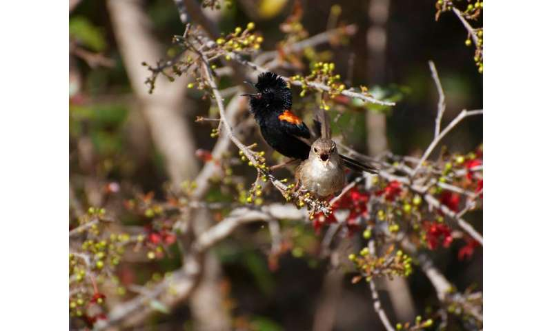Randy red-backed fairy-wrens' duets reduce cuckoldry