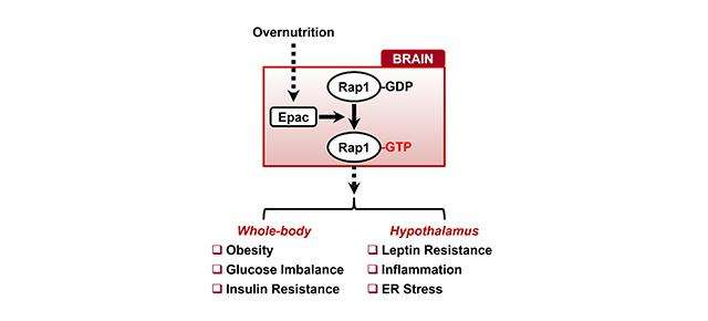 Rap1, a potential new target to treat obesity