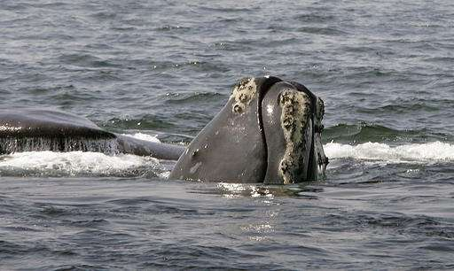 Rare whale's recovery hurt by entanglements, scientists say