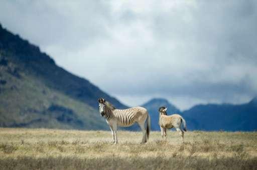 Rau quagga walk on Elandsfontein farm, in the Riebeeck Valley, on February 3, 2016, near Cape Town