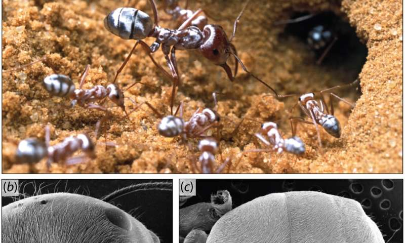 Reflective Saharan silver ant hairs thermoregulate, create bright color