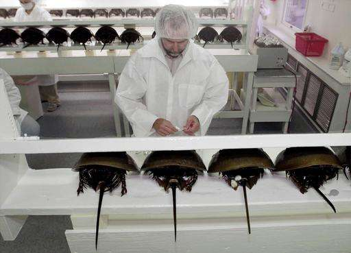 Regulators study horseshoe crab survival in medical harvest