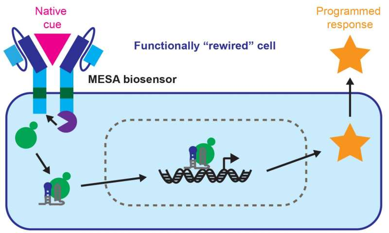 'Rewired' cells show promise for targeted cancer therapy