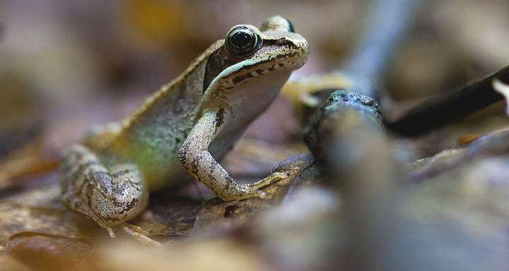 Road salt can change sex ratios in frog populations, study says