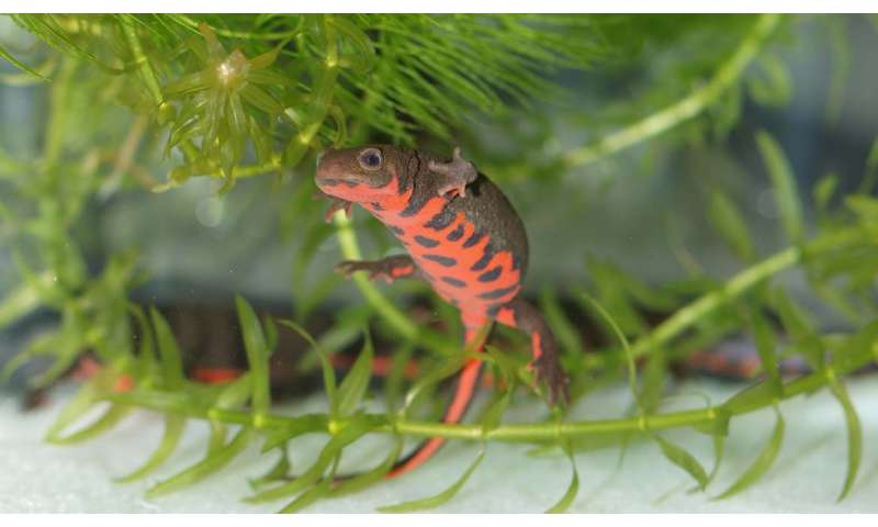 Role identified for key protein in regeneration of damaged newt retinas