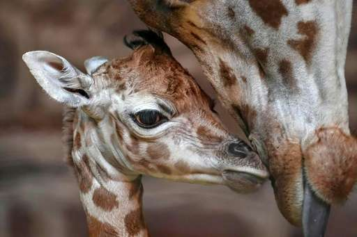 Rothschild's giraffes are one of the world's most at-risk species and fewer than 1,600 exist in the wild