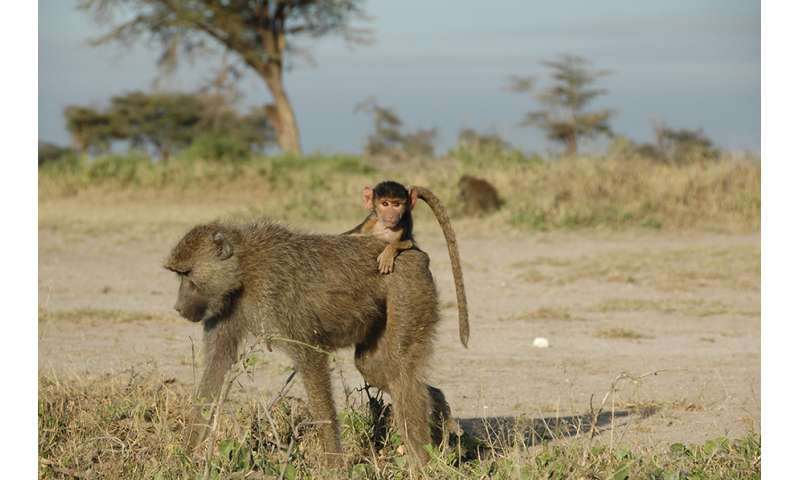 Rough childhoods have ripple effects for wild baboons