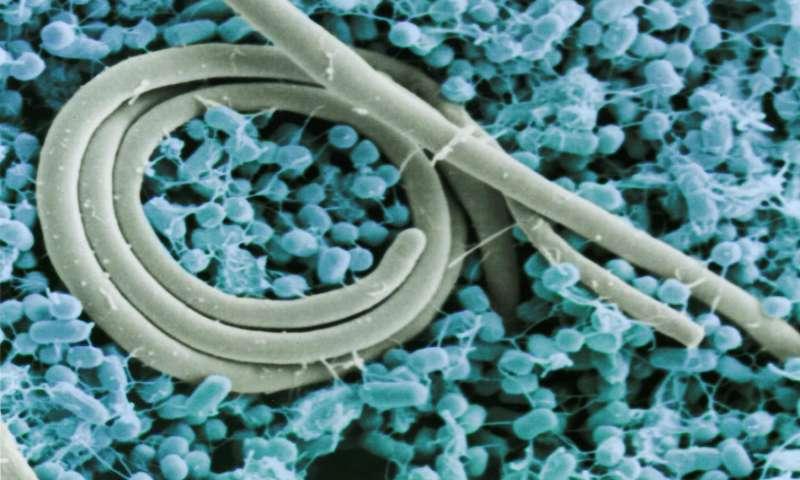 Salmonella enteritidis