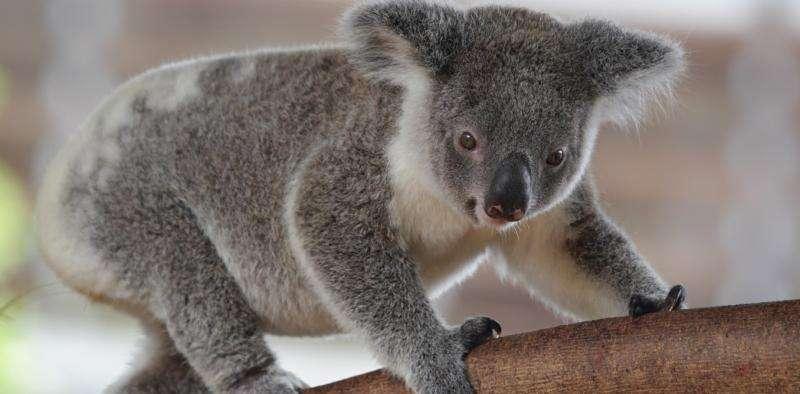 Saving koalas through urban design