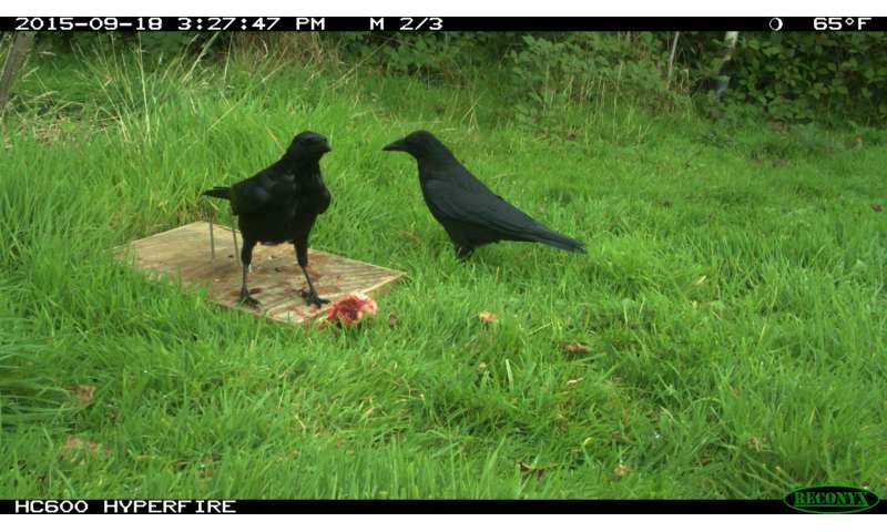 Scavenger crows provide public service, research shows