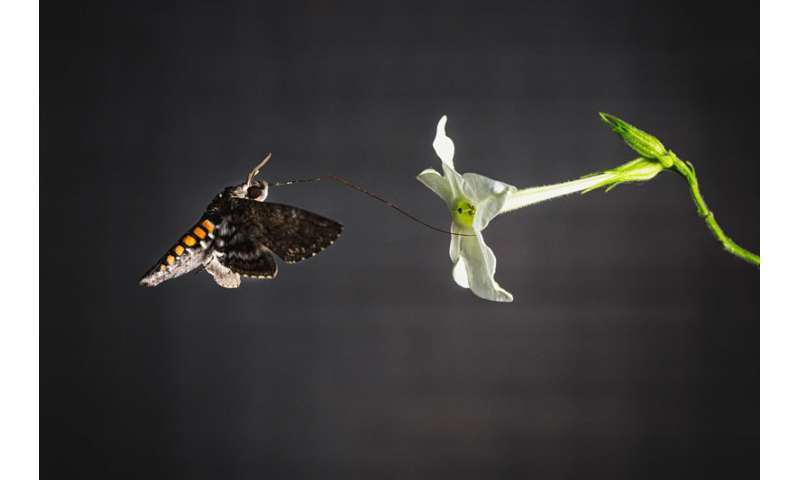 Scent guides hawk moths to the best-fitting flowers