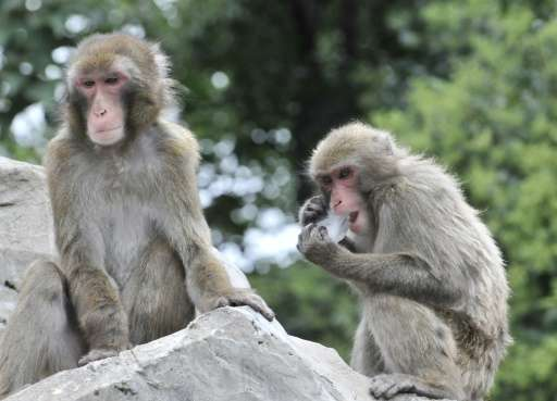 Scientist gave the macaques in the study into organ regeneration mild immunosuppressant drugs, and monitored them for 12 weeks