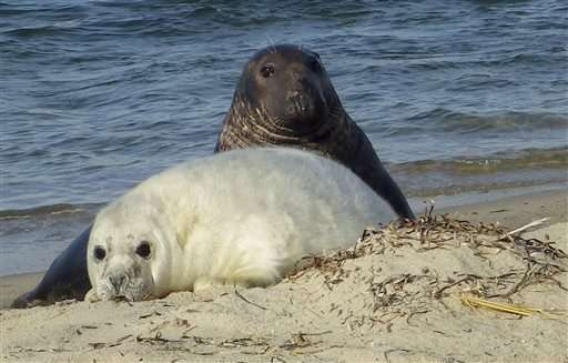 Scientists turn to drones to count growing seal colonies
