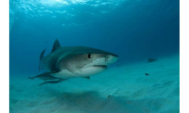 Scientists used high tech ultrasound imaging to study tiger shark reproduction