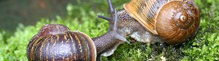 Search is over for a mate for Jeremy the 'lefty' snail