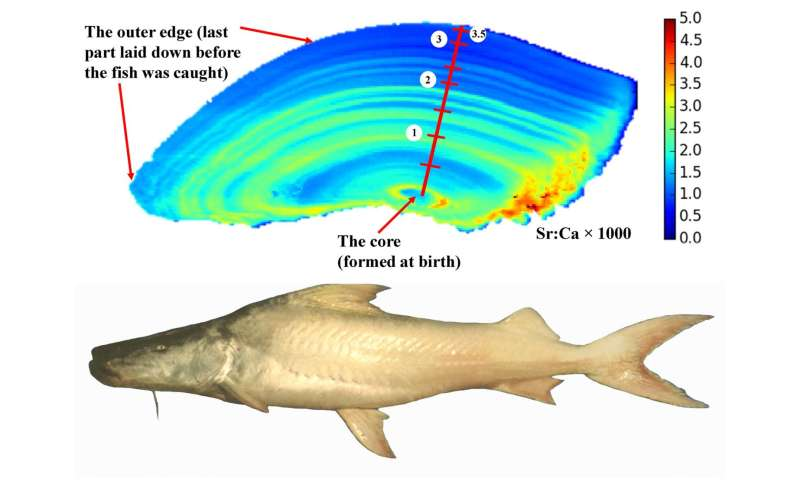 Secret lives of Amazonian fishes revealed by chemicals stored in their ear-stones