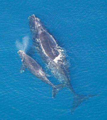 Seismic Surveys Could Threaten Endangered Whales