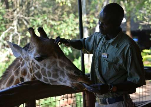 Selma is a sign of hope—the pregnant giraffe resides at a conservation centre in Nairobi