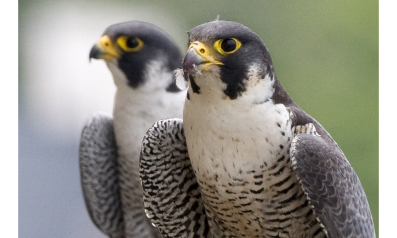 Sex in the city: Peregrine falcons in Chicago don't cheat