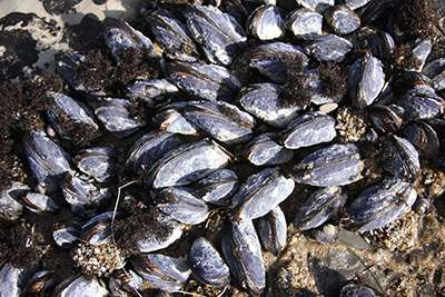 Shellfish response to ocean acidification may vary depending on other stressors
