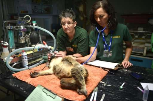 Sherwood Robyn, a 12-year-old koala, is examined by volunteers Amanda Gordon (R) and Susanne Scheuter (L) at the Koala Hospital
