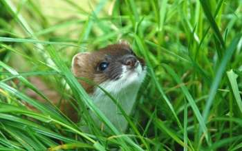 Sniffing out the enemy—scent may be stoats' Achilles heel