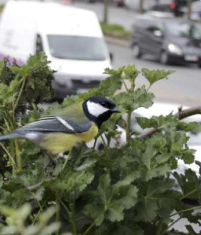 Songbirds sound the alarm about traffic noise