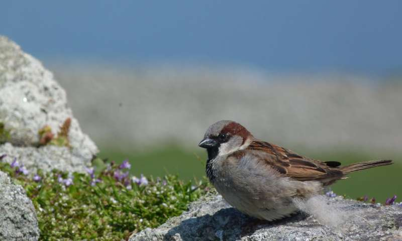 Sparrows with unfaithful 'wives' care less for their young