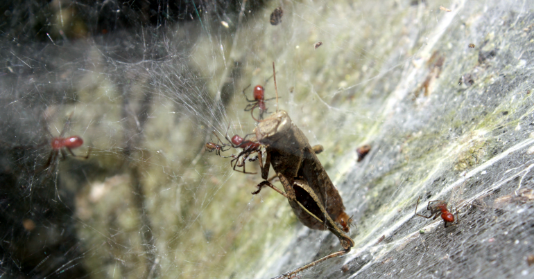 Spider sharing isn't always caring: Colonies die when arachnids overshare food