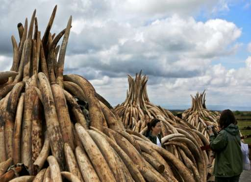 Stockpiles of elephant tusks are stacked up onto pyres at Nairobi's national park waiting to be burned along with more than a to