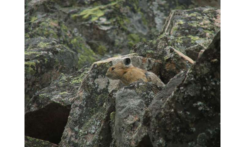 Study: Future for charismatic pika not as daunting as once feared