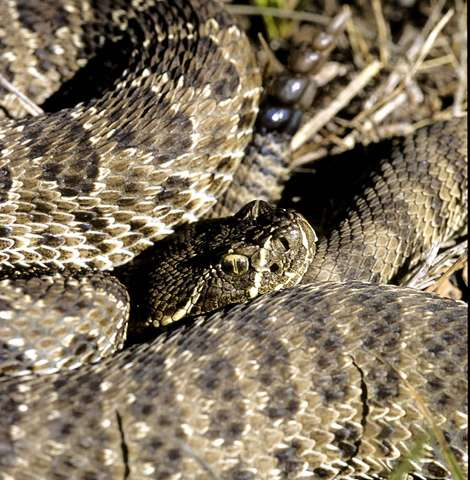 Study: Head shape and genetics augment understanding of rattlesnake species