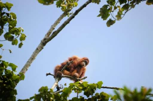 Sumatran Orangutans, like this one picture in Aceh province in May 2016, are critically endangered according to the Internationa