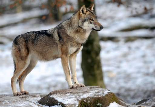 Sweden's Supreme Administrative Court ruled that hunting 24 wolves in four territories of a central region was justified despite