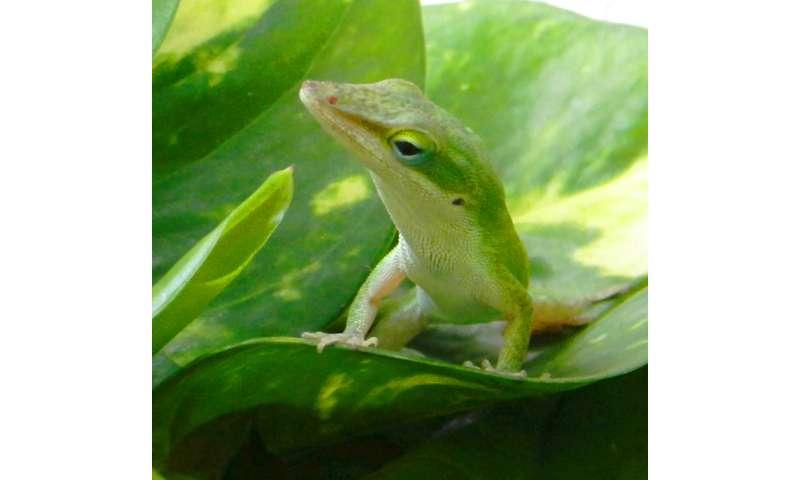 TGen-ASU researchers find tiny genetic switches in lizard tail regeneration