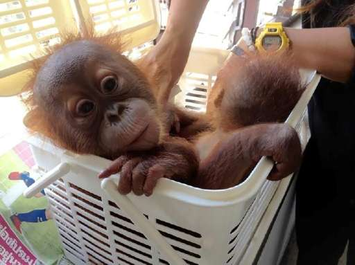 Thai police rescued two baby orangutans after undercover officers posed as interested buyers and contacted the seller over Whats