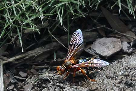 The buzz on cicada killers