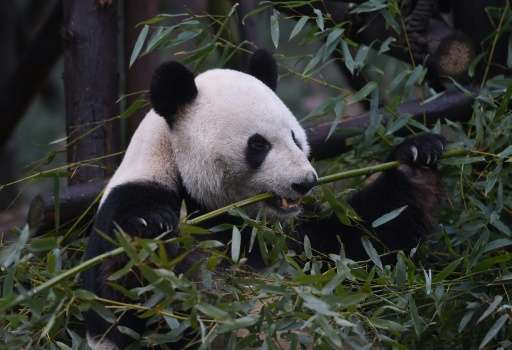 The cornerstones of the Chinese effort to bring back its pandas have included an intense effort to replant bamboo forests, which