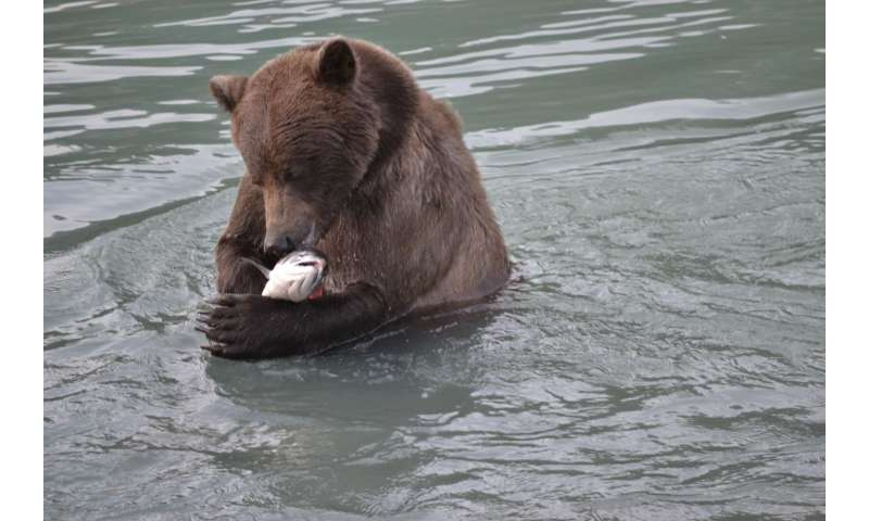 The golden drool: Study finds treasure trove of info in saliva of foraging bears