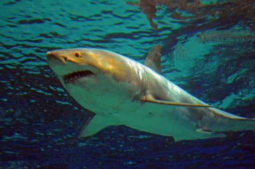 The great white shark of about 3.5 metres was captured and exhibited in one of the world's rare cases at a Japanese aquarium but