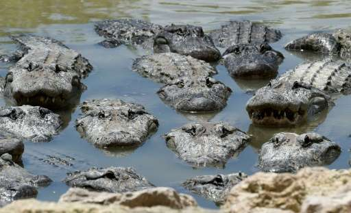 The most dangerous periods are between April and June, when alligators are looking to mate, and from June to August, when they a