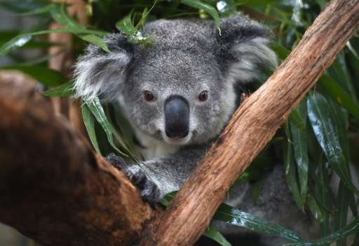 The outlook for koala populations on Australia's east coast is dire as habitat loss, dog attacks, car strikes, climate change an