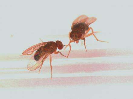 The pleasures & perils of protein: Fruit fly study reveals new clues to appetite & aging