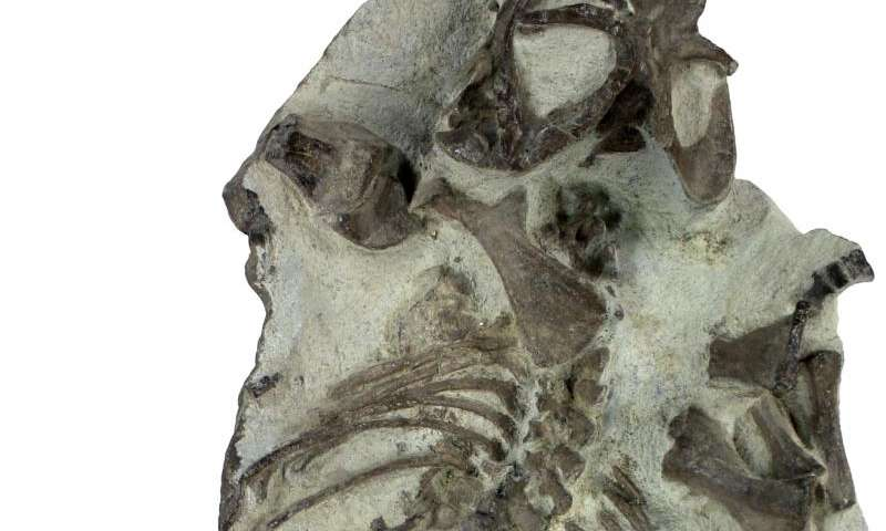 Therapsids adapted to drastic climate change by having shorter life expectancies
