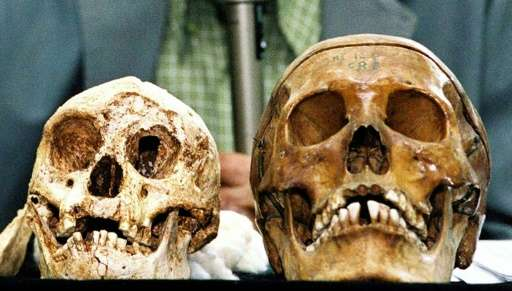 The remains of Indonesia's hobbit-sized humans (L) and modern human (R) are displayed at Gadjah Mada University in Yogyakarta, I