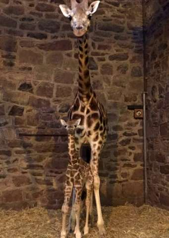 The six-feet-tall Rothschild's giraffe youngster, which is yet to be sexed or named, arrived to first-time mum Tula at around 7a