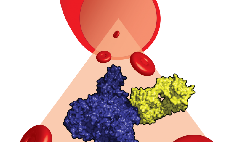 The therapeutic antibody eculizumab caught in action