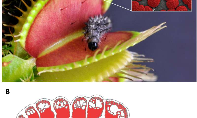 The Venus flytrap: From prey to predator