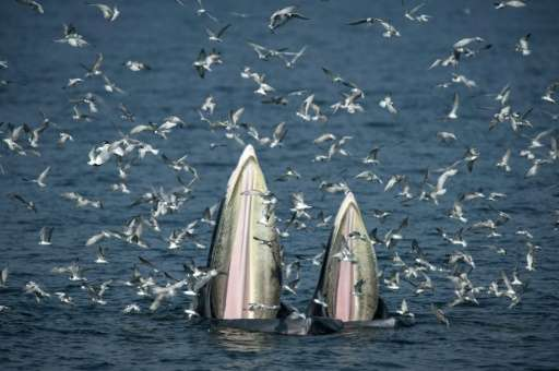 The way that Bryde's whales feed is the greatest biomechanical event in the world, says a Thai whale-spotting guide